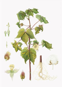 plant in making cotton